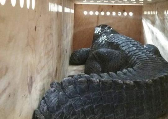 Traslado de cocodrilos